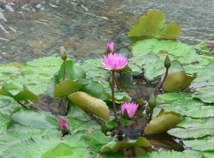 waterlilly.jpg