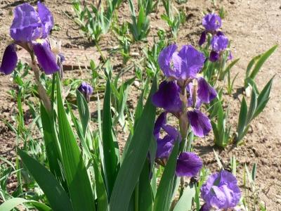 irises2.jpg