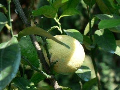 lemons-italy.jpg