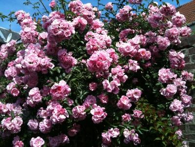 pinkroses.jpg