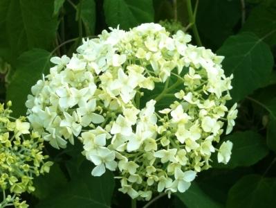 whitehydrangea.jpg