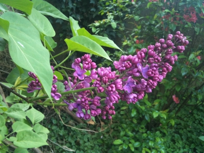 lilac.jpg