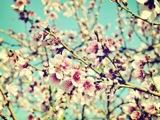 nectarineblossoms.jpg